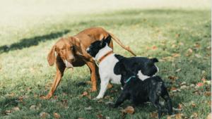 Viszla,braque hongrois qui joue avec un autre chien