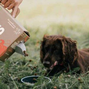 Duitse Spaniël, chien d'Oysel eet brokjes