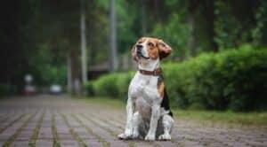 beagle assis