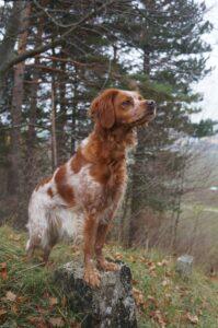 épagneul breton dans la forêt