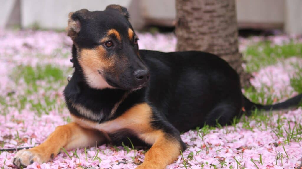 chien printemps fleurs de cerisier