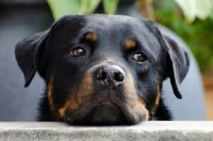 Tête de chien posée