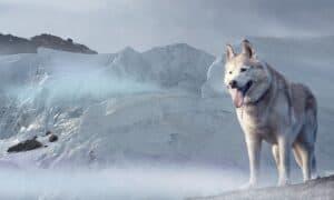 husky dans la montagne