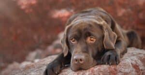Labrador tête posée