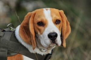tête beagle
