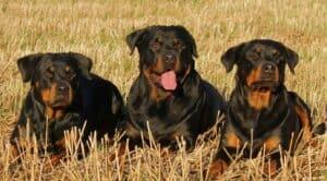 Rottweilers dans un champ fauché