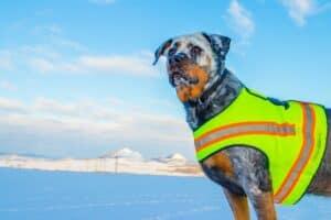 chien gilet de sécurité