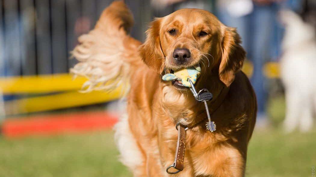 chien guide qui rapporte des clés