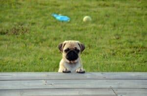 jeune chien dans le jardin