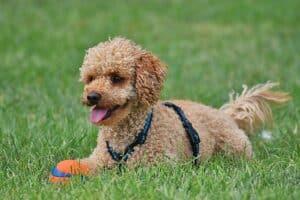 chien avec une balle et un harnais dans l'herbe