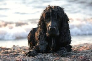 Cocker anglais sur la plage