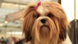 chien à long poil
