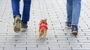chien balade