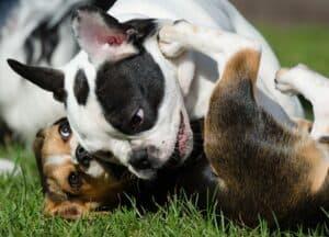 chien jaloux